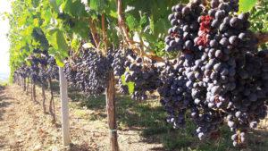 Vinul pelin revine în trend | Agro BUSINESS